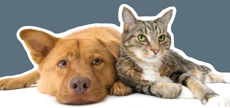 Smertefokus på hund og kat
