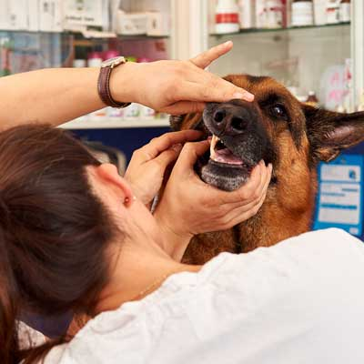 Tandsygdomme hos hunde og katte