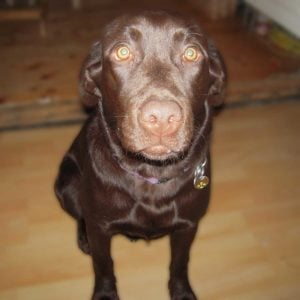 Labrador 8 måneder