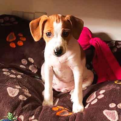 Hvalpen Daisy er en Dansk/Svensk gårdhund