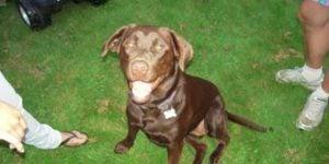 Når hunden spiser sin egen afføring (koprofagi)