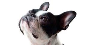 BOAS hos de brachycephale hunde