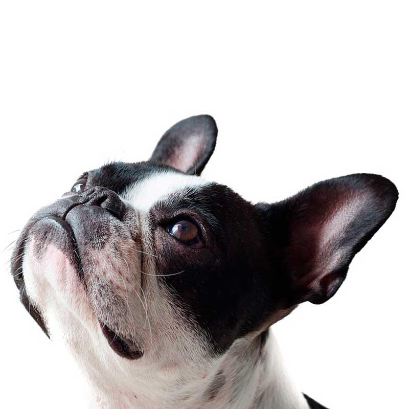 BOAS - forsnævrede luftveje hos kortsnudede brachycephale hunde