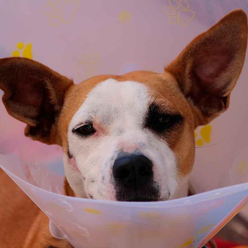 Hund med smerter