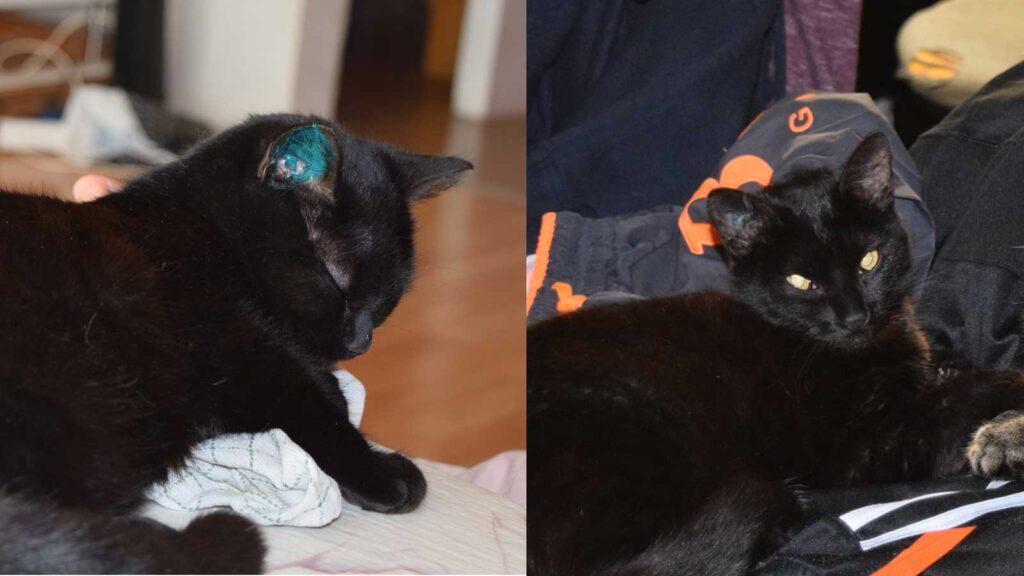 Øremærket kat. Efter 9 dage er farven næsten væk