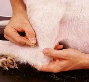 Akupunktur til dyr