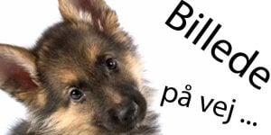 Hunde med tisseproblemer