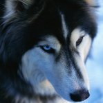 Hjerte hund