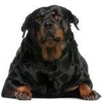 Overvægt & sukkersyge hund