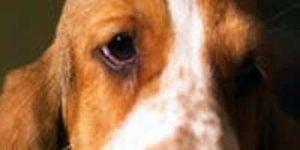 Grøn og grå stær hos hunde og katte