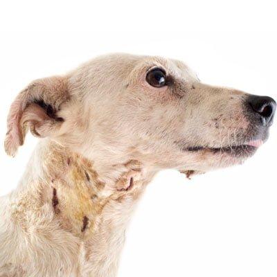 Hot spot hund - hudlidelse og hudbetændelse