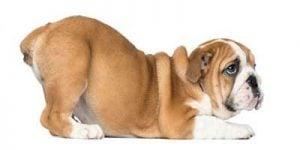 Analkirtler hos hunde
