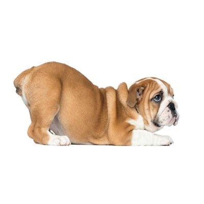 Hund analkirtler