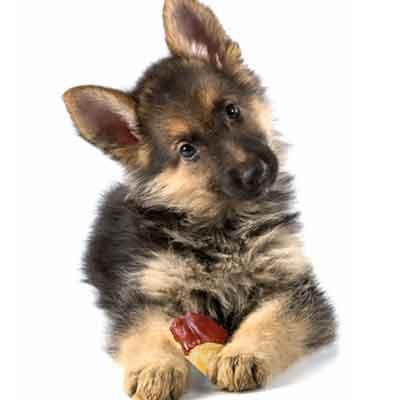 Hunde og chokolade
