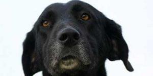Dårligt hjerte hos hunde