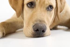 indbildsk gravid hund