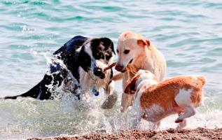 Gigt hos hunde