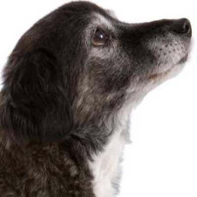 Leversygdomme hos hunde