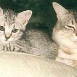 Sterilisering og kastrering af katte