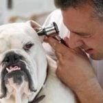 Ørelidelser hos hunde og katte