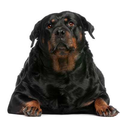 Overvægt hos hunde og katte