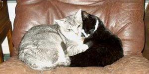 Gigt hos katte