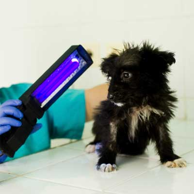 Ringorm hos hunde og katte