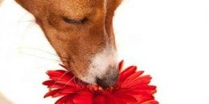 Vaccination af hunde